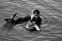 Morro Bay Sea Otters VIX