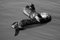 Morro Bay Sea Otters XIII