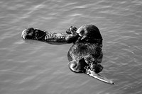 Morro Bay Sea Otters XVI