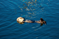 Morro Bay Sea Otters IV
