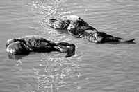 Morro Bay Sea Otters XX