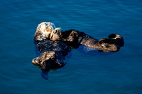 Morro Bay Sea Otters VI