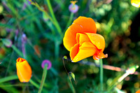 San Luis Mountain Poppies IV